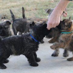 quarrydene puppies